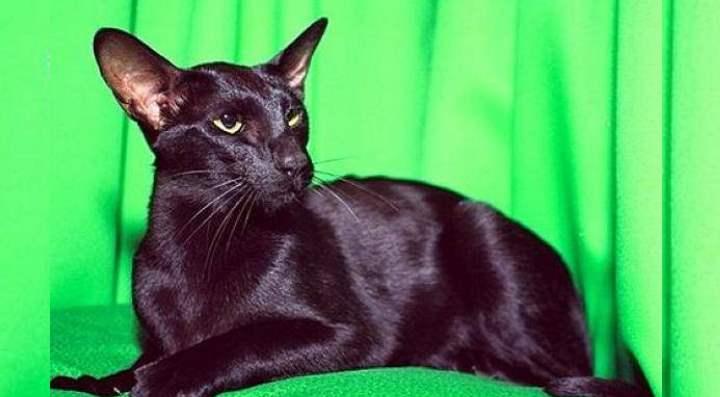 Злая кошка породы Ориентальные