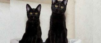 породы черных кошек удивительны