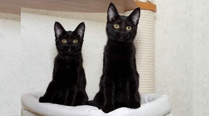 Черный кот с большими ушами порода