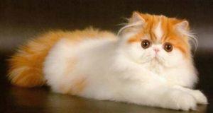 Белорыжий котик