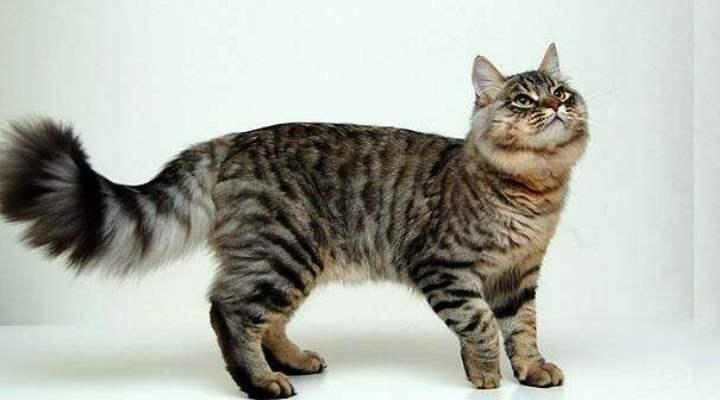 эти коты появились в лесах Сибири