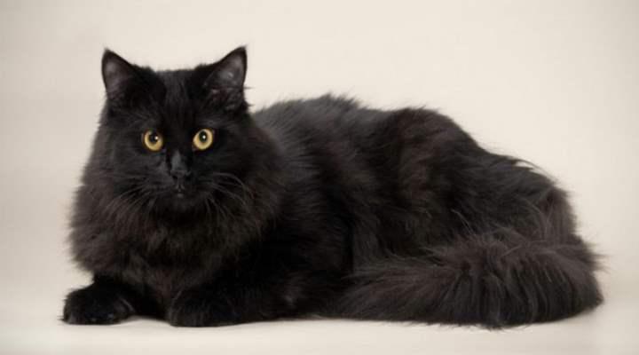 Многие породы перекликаются с названиями территорий, где обитают животные. Например, сибирская кошка.