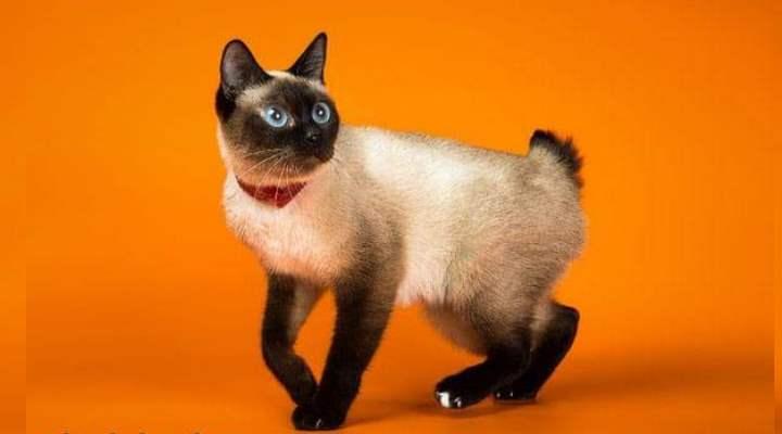 Самая мелкая порода кошек – скиф-тай-дон, весом от 0,9 до 2,5 кг.