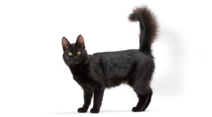 Эффектная красавица — ангорская кошка