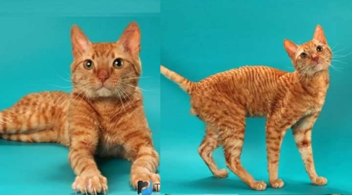 Это уральские кошки с кудрявой шерстью