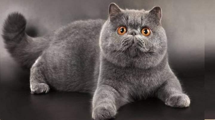 Невская маскарадная порода кошки