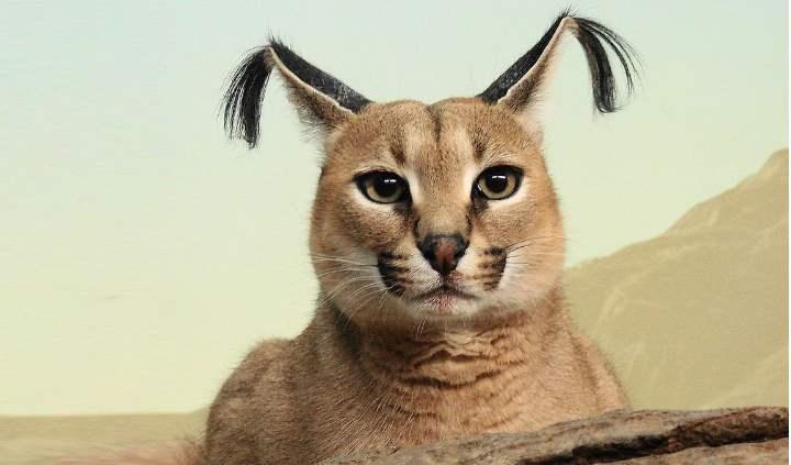 Кошки Каракал: в домашних условиях, внешний вид, цена, отзывы владельцев