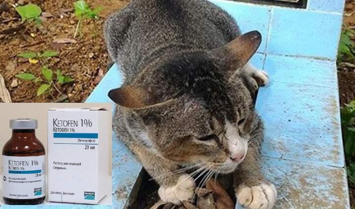 Кетофен для кошек – действие и инструкция, показания, отзывы о применении Фото и Видео