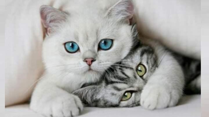 Выбираем породу кошек в квартиру для ребнка какая лучше