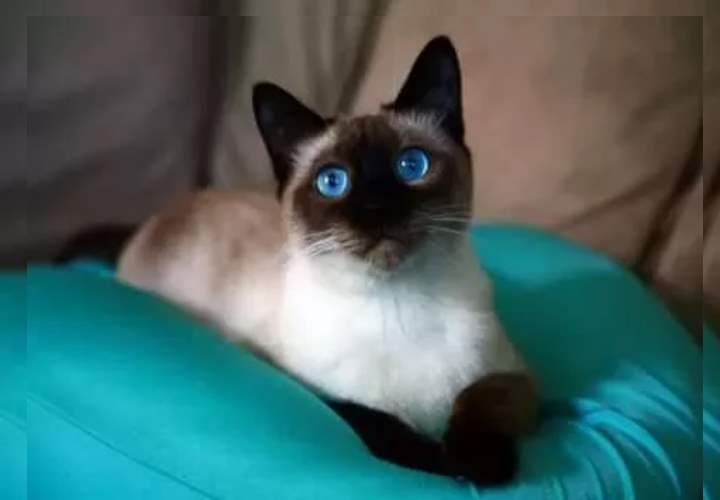 Голубоглазый сиамец