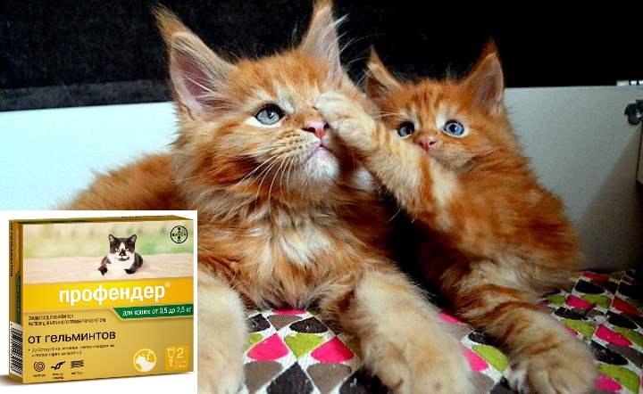 Первичным источником заражения котят может служить кормящая кошка