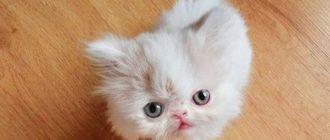 Большой интерес также представляют миниатюрные породистые кошки