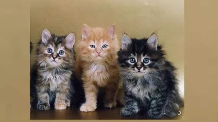 Разные окрасы котят