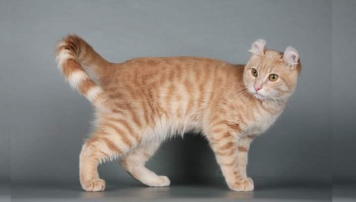 Кошка породы американский кёрл появилась в ходе естественной мутации и далее подвергалась скрещиванию