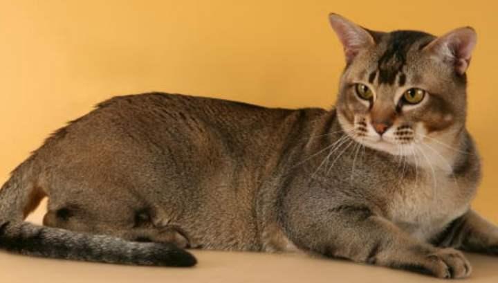 Кошки породы азиатская табби прекрасны и величественны