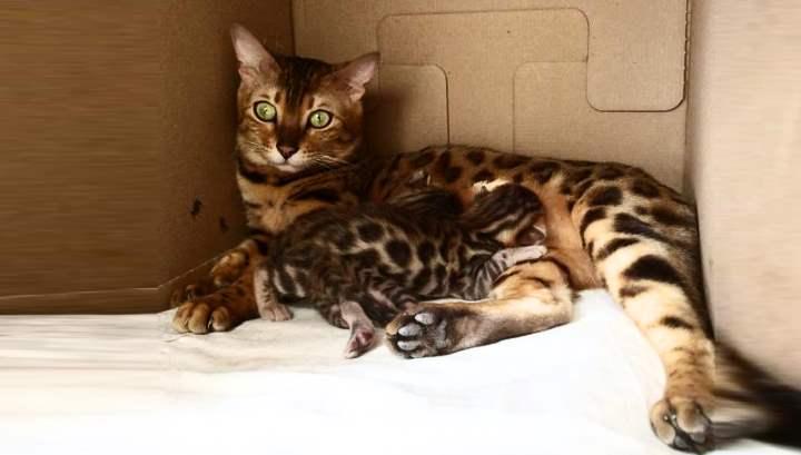 Гибрид дикого азиатского леопардового кота, которого называют домашним или маленьким леопардом