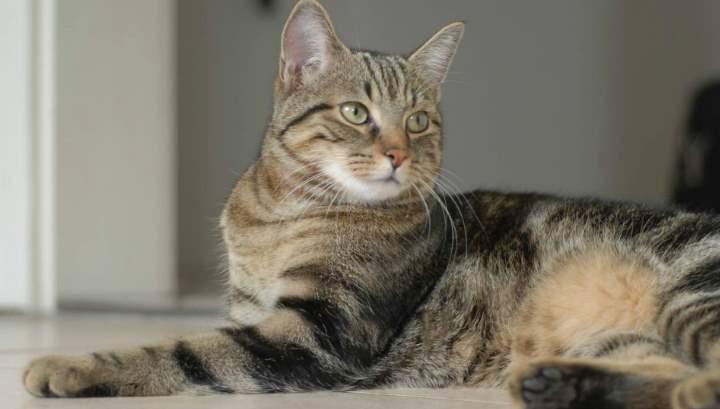 Миниатюрные кошки с гибким телом и сильными лапами родом из Бразилии