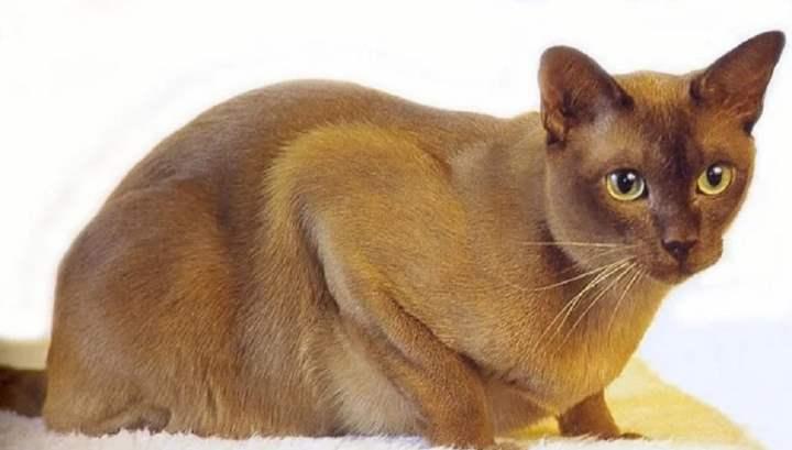 Кошки породы бурмуар были выведены в Англии