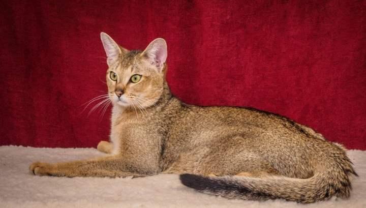 Чаузи является одной из самых дорогих кошек