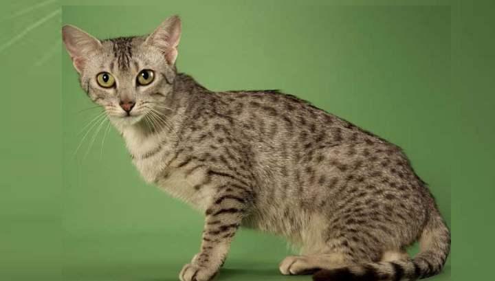 Считается, что предками этой породы были магические кошки Древнего Египта, хотя выведена порода в Америке