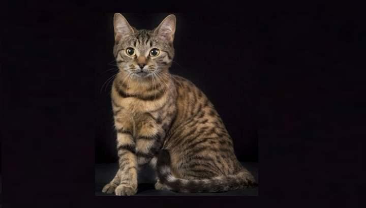 Кельтский котенок