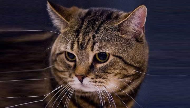 Кельтская кошка: фото, описание породы