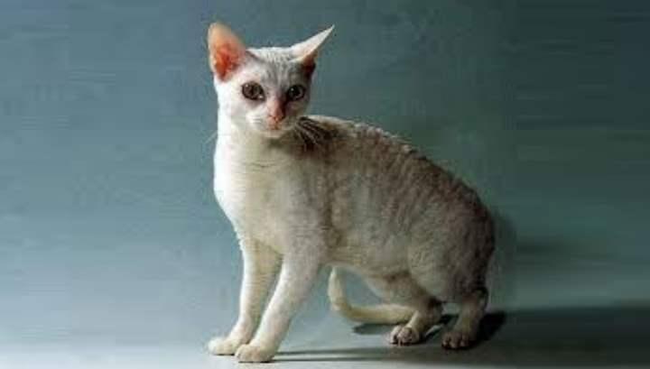 Кошек породы герман-рекс называют голубой тэбби, немецкий или прусский рекс
