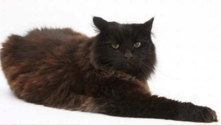 Йоркская шоколадная порода кошек характеризуется стройным телом и пушистым меховым покровом