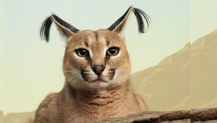 Любители экзотики приручают диких зверей. Одним из них является дикая кошка каракал