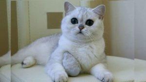 Плюшевые питомцы – это кошки, чей мех - короткий и густой - на ощупь напоминает плюш
