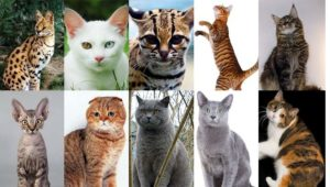 Самое простое деление породистых кошек – по внешнему виду