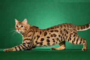 Успех у покупателей и заводчиков имеет кошка с шерстью из трех цветов