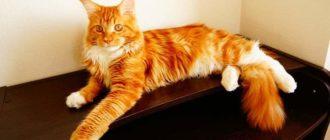 Рыжий цвет больше присущ котам, а не кошкам