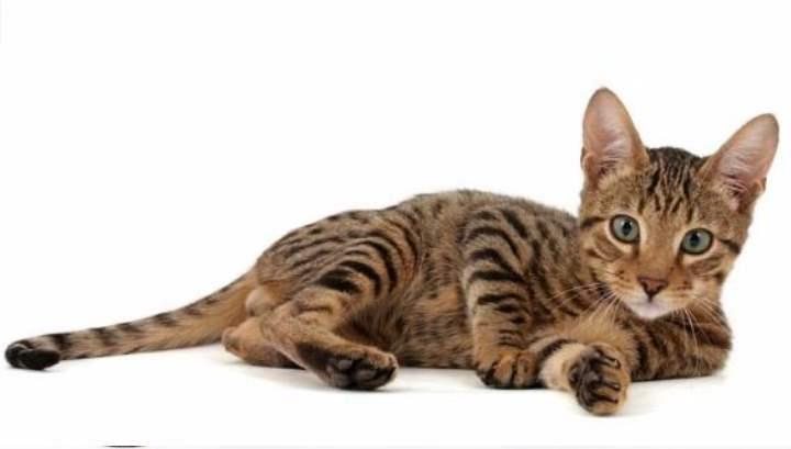 Американская кошка с африканской грацией – именно так можно описать кошек серенгети