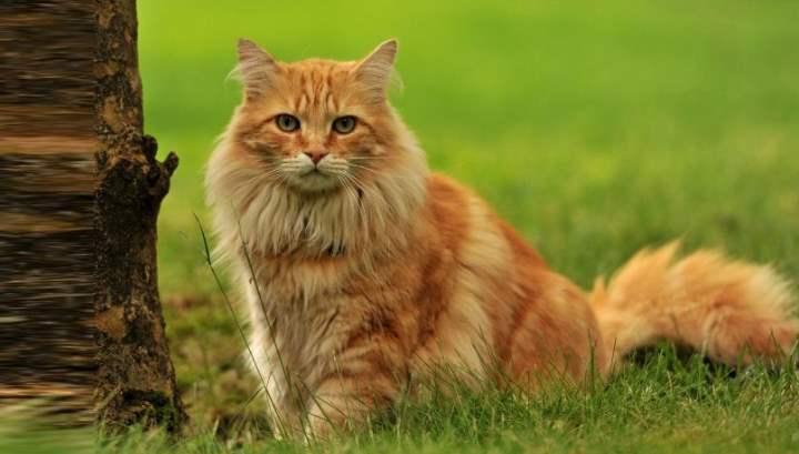 Кошка крупная, весом 6-12 кг, мускулистая;