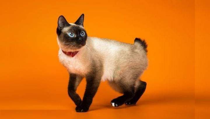 Эти кошки считаются самой маленькой породой в мире – они редко достигают даже 2 кг