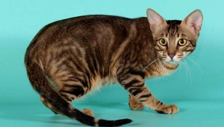 Эти кошки, появившиеся в Африке, выглядят действительно чарующими