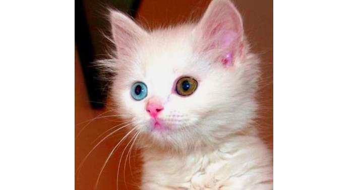 Котенок с разными глазами