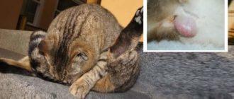 Фото воспаленных желез у кошки
