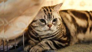 Считается, что предков американской короткошёрстной кошки привезли в дар британцам римляне ещё в Х веке.