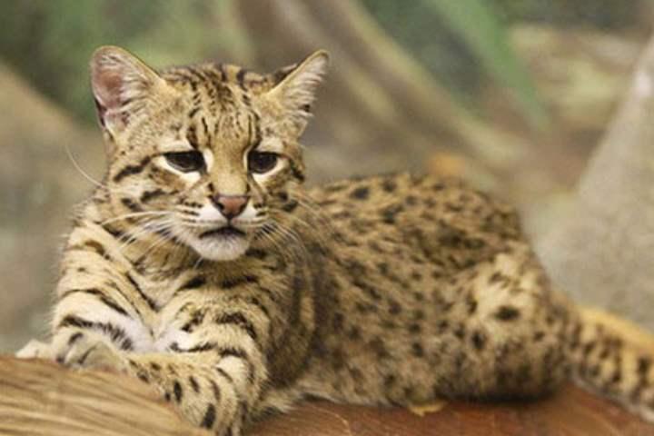 Еще один представитель леопардового окраса – оцикет