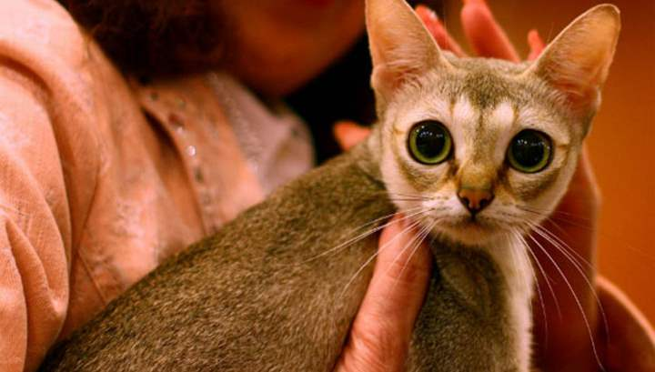 характер сингапурской кошки