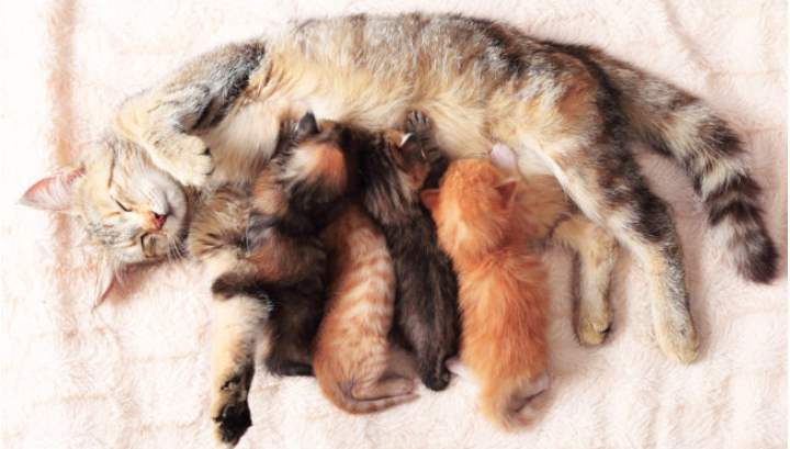 Как принять роды у кошки в домашних условиях - Zverki.Click