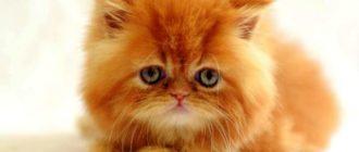 Зеленые глаза у перса
