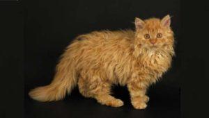 Кошка породы лаперм рыжего цвета