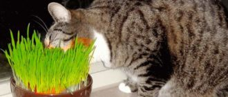 Кот ест вкусную траву