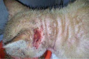 Кот расчесал до крови шею