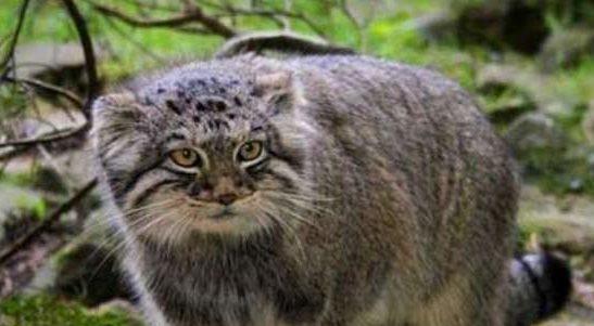Описание породы кот манул
