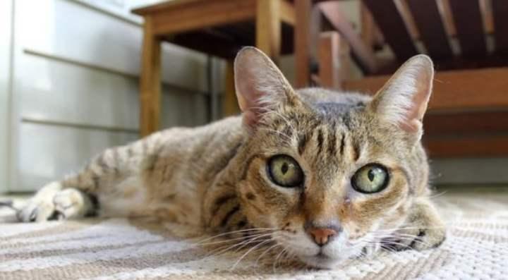 Признаки наличия глистов у кошки