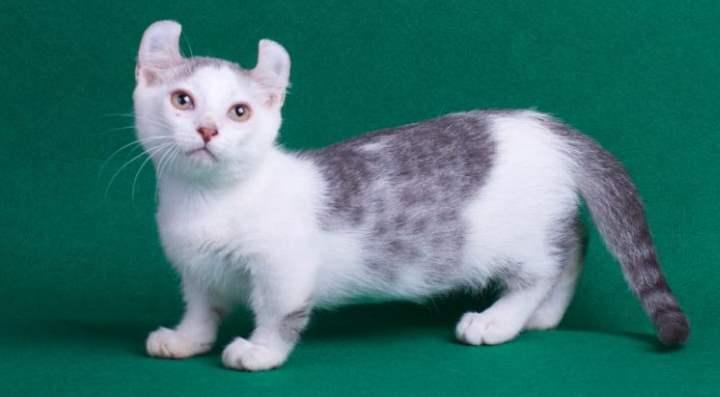 Белый кот породы кинкалоу